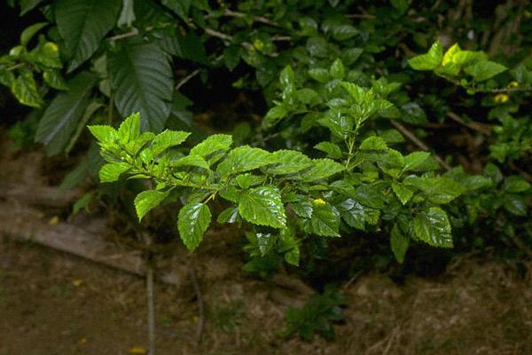 Mucho se dice y poco se sabe sobre esta planta milenaria de la que habla todo el mundo; te contamos qué es, qué produce, cuáles son los riesgos y cómo conviene tomarla